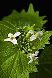 Close-up of garlic mustard, a pretty but problematic invader of temperate forests in North America: Click here for photo caption.