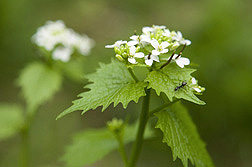 Flowers of garlic mustard produce up to several thousand seeds per plant, making it difficult to control: Click here for photo caption.