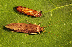 Adult female banana moth (bottom), about one-half inch long, and a pupal case from which it emerged: Click here for photo caption.