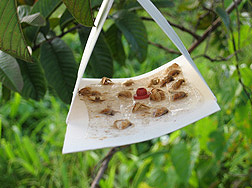 Trap containing male nettle moths captured with a synthetic pheromone component: Click here for full photo caption.