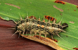 A late-instar larva of stinging nettle caterpillar feeding on a leaf: Click here for full photo caption.