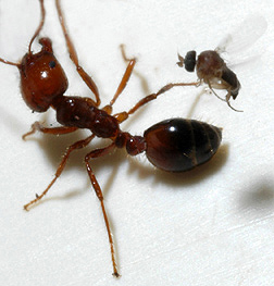 A parasitic phorid fly attempts to lay an egg into a fire ant worker: Click here for full photo caption.
