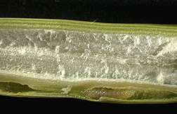 A Tetramesa romana larva (bottom) chews its way through this cross section of an Arundo stem: Click here for photo caption.