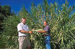 In northern California, technician (left) and ecologist collect a leaf sample from giant reed (Arundo donax): Click here for full photo caption.