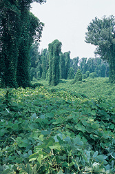 Spreading at the rate of 150,000 acres annually, kudzu completely envelops this Mississippi landscape: Click here for photo caption.