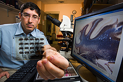 Neurobiologist examining brain images to assess diet-induced changes: Click here for full photo caption.