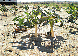One can see the dramatic amount of soil loss; over 3 inches of the potato stem including roots were exposed after a 2010 dust storm in southeastern Washington State: Click here for photo caption.