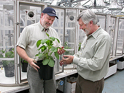 Photo: ARS geneticist Tommy Carter (right) and ARS plant physiologist Kent Burkey examine a Fiskeby soybean ancestor.