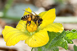 A honey bee, with pollen attached to its hind leg, pollinating a watermelon flower: Click here for photo caption.