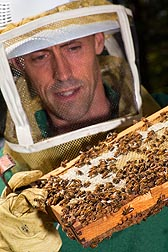 In Beltsville, Maryland, ARS entomologist Jay Evans inspects a comb of honey bees for signs of mites and brood disease: Click here for photo caption.