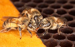 ARS scientists are studying the transfer of food or other fluids among members of a bee community through mouth-to-mouth feeding as a possible facilitator of colony collapse disorder: Click here for photo caption.