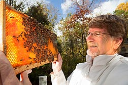 Entomologist Jeff Pettis inspects honey bee combs at Beltsville, Maryland, for disease: Click here for full photo caption.