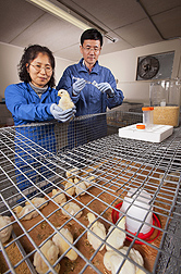 ARS molecular biologist Sung Hyen Lee (left) and visiting scientist Seung Ik Jang prepare live coccidia to test a chick's immunity: Click here for full photo caption.