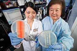 Plant physiologist Sylvia Hua (right) and technician Siov Sarreal display petri dishes showing the effectiveness of a biocontrol yeast against Aspergillus flavus: Click here for full photo caption.