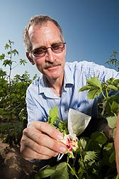 Geneticist John Erpelding cross-pollinates Gossypium cotton flowers to develop new populations: Click here for photo caption.