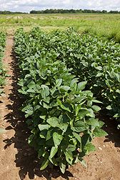 Soybean plants that were not flooded: Click here for photo caption.