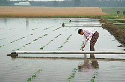 Ohio State University scientist Liming Chen examines flooded soybean plants: Click here for photo caption.