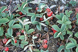 Wild fruiting plants of Fragaria cascadensis near Hoodoo Mountain, located in Oregon's Cascade Mountains: Click here for photo caption.