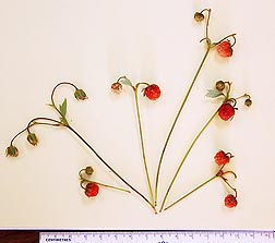 Photo:  The Cascade strawberry was discovered by ARS researchers in Oregon. Link to photo information