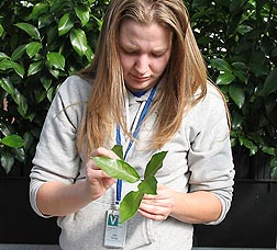 Technician Brittany Moreland selects citrus shoot tips for cryopreservation at the ARS germplasm repository in Fort Collins, Colorado: Click here for full photo caption.