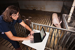 Agricultural engineer Tami Brown-Brandl evaluates a pig's feeding behavior with a new monitoring system that has been installed on the feeder in the background: Click here for full photo caption.