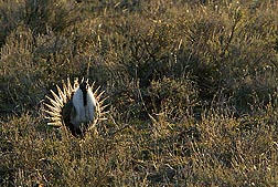 An adult male sage grouse: Click here for full photo caption.