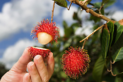 The white, fleshy pulp surrounding the large seed of the fruit of rambutan is quite delicious: Click here for full photo caption.