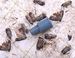 Codling moths lured to sticky paper by an attractant contained in the blue plastic device: Click here for full photo caption.