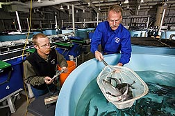 Fish nutritionist Rick Barrows (right) captures trout from 6-foot-diameter tanks for technician Jason Frost to weigh and measure.