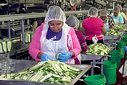Even at the country's biggest independent pickle producer, Mt. Olive Pickle Company, some products are still packed by hand, but food safety always comes first