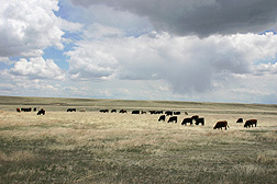 Yearling steers grazing on an experimental research pasture of the ARS Rangeland Resources Research Unit.