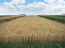 Winter wheat plots before harvest at Ralston, Washington.