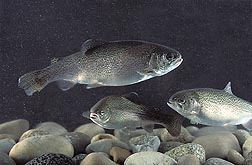 Three rainbow trout swimming over rocks. Link to photo information