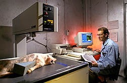 Animal scientist Al Mitchell uses DEXA to noninvasively measure the body composition an anesthetized pig. Click here for full photo caption.