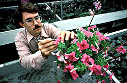 ARS plant geneticist Robert Griesbach examines petunias.
