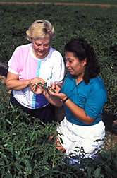 Chemist Marie Tousignant (left) and plant pathologist Thanda Wai check nontransgenic control plants in the field.