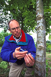 Geneticist inoculates a tree with the fungus that causes Dutch elm disease