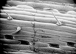 Fungus Puccinia recondita