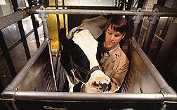 Large animal calorimeter.