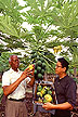 Examining papaya fruit