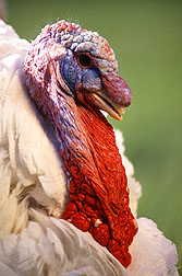 Photo: Male turkey. Link to photo information