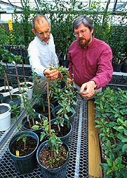 Horticulturists discuss the effects of dwarfing genes on pear growth. Click here for full photo caption.