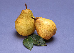 Bosc pears from a dwarfed tree.