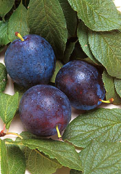Bluebyrd plums. Click here for full photo caption.