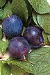Bluebyrd plums.