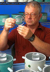 Entomologist checks the growth of tarnished plant bugs in a rearing room. Click here for full photo caption.