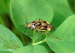 A tarnished plant bug, Lygus lineolaris, on clover.