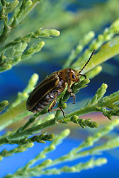Diorhabda elongataleaf beetles, native to China, are natural enemies of saltcedar (Tamarix species).