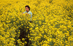 Soil scientist Gary Bañuelos evaluates canola plants grown for cleaning selenium-rich soils. Link to photo information.
