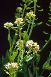 Alpine pennycress. Link to photo information